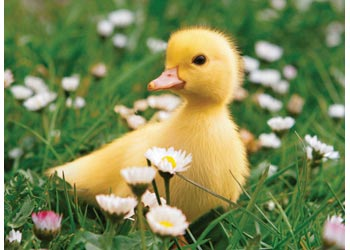 Rb_100p_cute_duckling